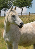 Grey arabian horse Stock Images