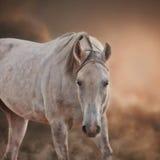 Grey Arabian Horse Arkivbild