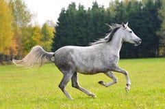 Grey arabian horse in autumn field stock photo