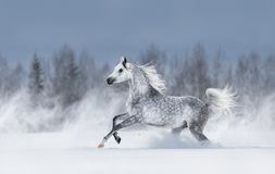 Grey arabian horse galloping during snowstorm. stock image