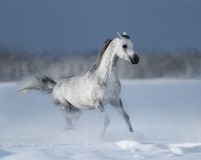 Grey arabian horse gallops on snow field. Galloping grey arabian horse on snow field Royalty Free Stock Image