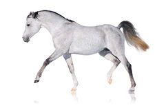 Grey arabian horse isolated. On white Royalty Free Stock Image