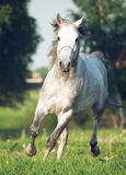 Grey  arabian horse in movement Royalty Free Stock Images