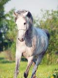Grey  arabian horse in movement Stock Photos