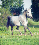 Grey  arabian horse in movement Stock Photos