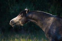 Grey arabian horse portrait Stock Photo
