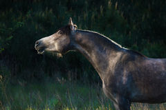 Grey arabian horse portrait Stock Photography