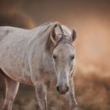 The Grey Arabian Horse Stock Photography