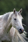 Grey Arabian Horse Stock Photo