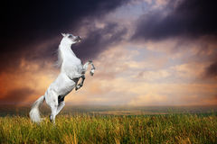 A grey arabian horse rearing. On the field on sunset Royalty Free Stock Photography