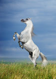 A grey arabian horse rearing. On the field Stock Photo