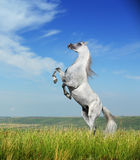 A grey arabian horse rearing. On the field Royalty Free Stock Photography