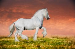 A grey arabian horse rearing. On the field on sunset Stock Image