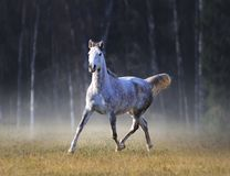 The grey arabian horse runs free in frosty autumn morning royalty free stock photography