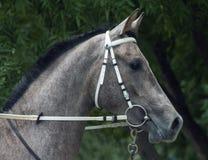 Grey arabian horse stallion portrait. Grey arabian horse stallion portrait,Northern Caucasus royalty free stock images