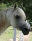 Grey Arabian Stallion. Closeup of the Profile of a arabian stallion Royalty Free Stock Photos