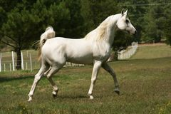 Grey Arabian Stallion Stock Photo