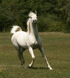 Grey Arabian Stallion stock photography