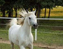 Grey Arabian Stallion Royalty Free Stock Image