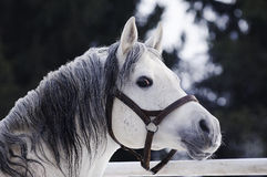 Grey Arabian stallion portrait Royalty Free Stock Images