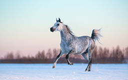 Grey Arabian stallion on winter snowfield at sunset. Galloping purebred Arabian stallion on winter snowfield at sunset Royalty Free Stock Image