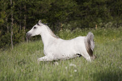 Grey arabian Royalty Free Stock Photos