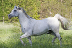 Grey arabian Royalty Free Stock Photography