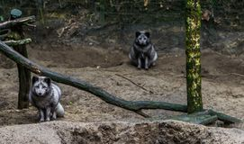 Grey arctic foxes, one coming closer and one sitting in the background, animal from the northern hemisphere. Two grey arctic foxes, one coming closer and one royalty free stock image