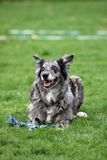 Grey Australian-Shepherd-mix dog Stock Images