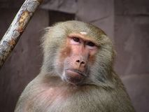 Curious Looking Grey Baboon Stock Photography