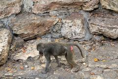 Baboon royalty free stock photos