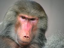 Suspicious Looking Grey Baboon. A grey baboon with a suspicious looking royalty free stock image