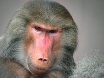 Suspicious Looking Grey Baboon Royalty Free Stock Image