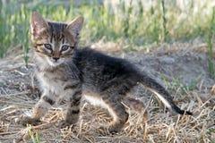 Grey baby kitten Stock Images