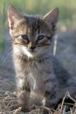 Grey baby kitten portrait Stock Photo