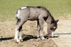 Grey baby pony Stock Image