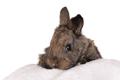 Grey baby rabbit Royalty Free Stock Image