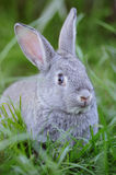 Grey baby rabbit Royalty Free Stock Photos