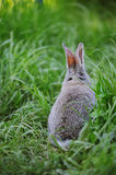 Grey baby rabbit in the grass Royalty Free Stock Photography