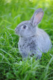 Grey baby rabbit in the grass Stock Photo