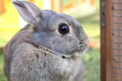 Grey baby rabbit Stock Image