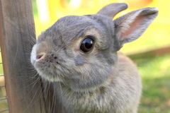 Grey baby rabbit Stock Images