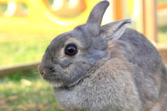 Grey baby rabbit Royalty Free Stock Photography