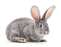 Grey baby rabbit. Royalty Free Stock Image