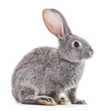 Grey baby rabbit. Royalty Free Stock Images