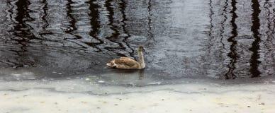 Grey Baby Swan in een Rivier in de Winterdag stock afbeeldingen