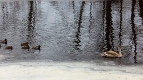 Grey Baby Swan i en flod i vinterdag royaltyfri foto