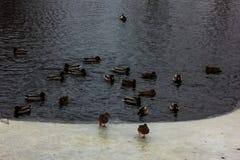 Grey Baby Swan op een Ijs in de Winterdag stock afbeeldingen
