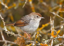 Grey Backed Cisticola Royalty Free Stock Images