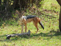 Grey backed jackal Royalty Free Stock Images